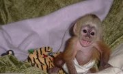 adorable baby capuchin monkey looking for a good home