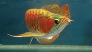 High Grade arowanas fishes for sale