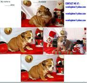 attractive english bulldog puppies for adoption