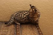 F2 Savannah Kittens Available