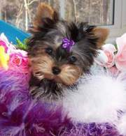 Two Gorgeous TeaCup Yorkie Puppies Available